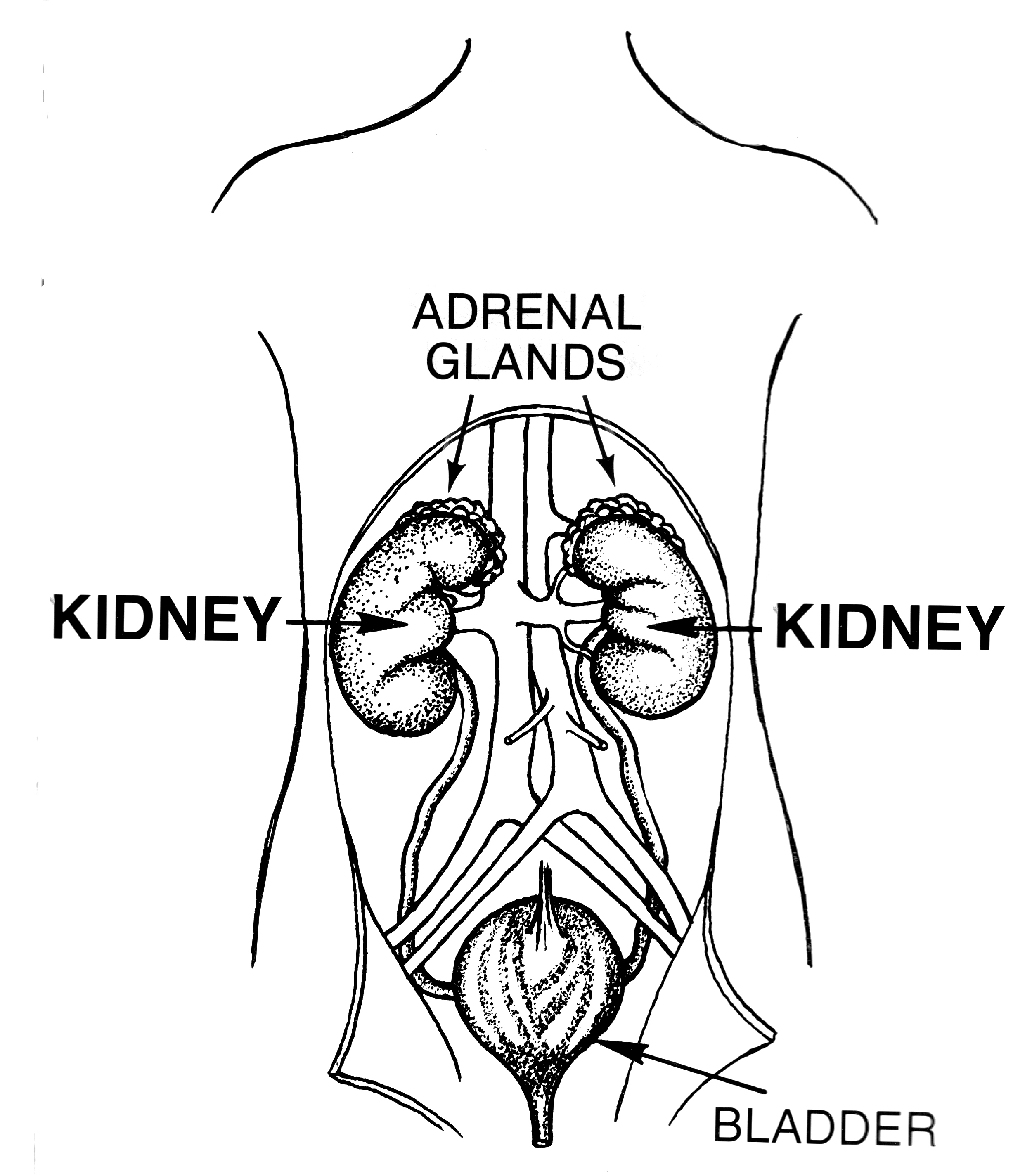Kidneys, adrenal glands, bladder, diagram