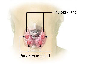 Illustration thyroid parathyroid
